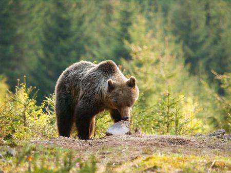 Eurasian brown bear - Ursus actor actor -looking foe something to eat