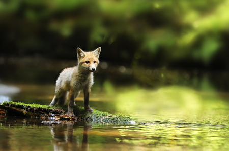 Young red fox stay in river being watchfull - Vulpes vulpes Stock Photo