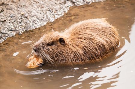 castor: Coipo comiendo en el agua - Myocastor Coypus