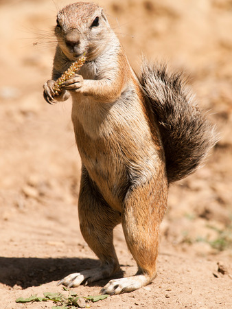Cape ground squirrel eating seeds from cob - Xerus inauris