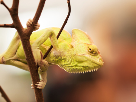 Young Yemen chameleon on the branch prepared for hunting - Chameleo calyptratus