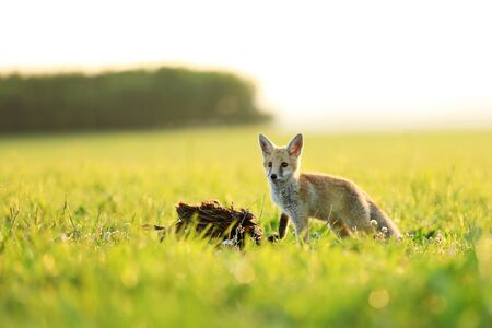 Young red fox eat prey on meadow - Vulpes vulpes