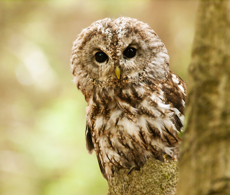 Brown owl looking behind from the tree - Strix aluco