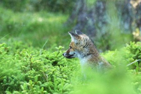 Portrait of red fox sitting in forest - Vulpes vilpes