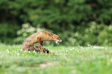 Adult red fox guarding catched bird on meadow in early morning - Vulpes vulpes