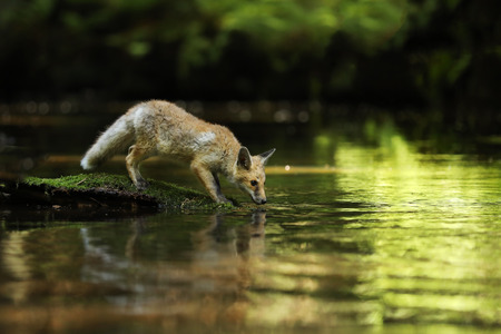Young vixen of red fox stay on stone and drink - Vulpes vulpes