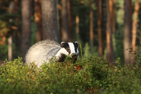 Eurasian Badger - Meles meles - looking for feed in bilberry bushes