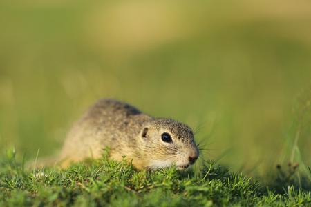 Spermophilus citellus - European ground squirrel on green grass Stock Photo
