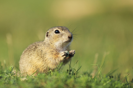 European ground squirrel endagered endemic species -Spermophilus citellus  Stock Photo