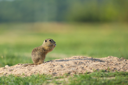 European ground squirrel above burrow - Spermophilus citellus
