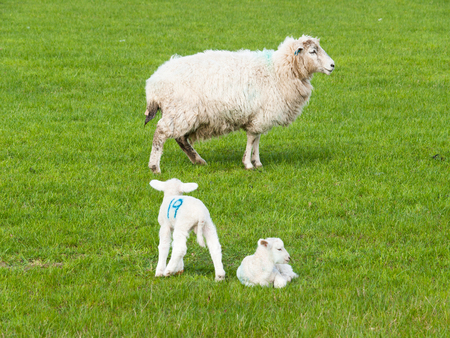 Lamb twins and mother sheep on green grass Stock Photo