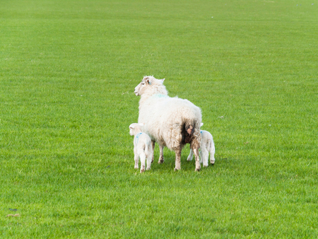 Lamb twins and mother sheep go away from pasture Stock Photo