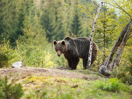 Eurasian brown bear - Ursus actor actor - near birch tree Stock Photo