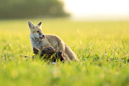 Young red fox with catched prey on meadow in the morning - Vulpes vulpes