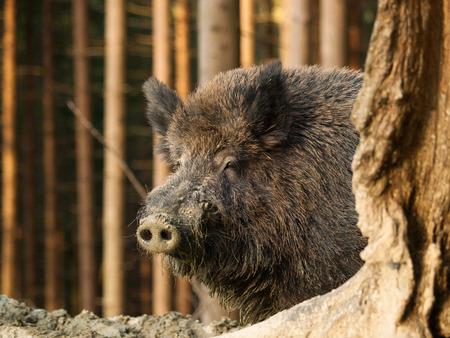 Sus scrofa scrofa - Hoofd van het Centraal-Europese zwijn in het bos