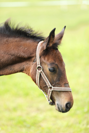 Portrait of young brown sport horse foal
