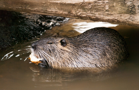 Coypu eating bit of celery on the water