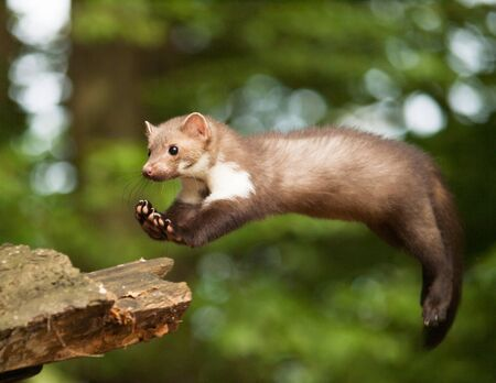 Martes foina -Stone  marten jum to the stump in forest Stock Photo
