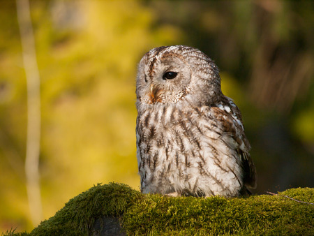 Portrait of Strix aluco - Ttawny owl sitting on moss in forest