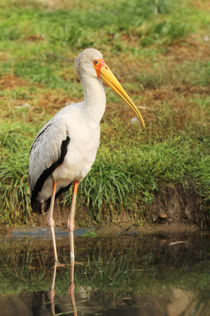 Yellow-billed stork - Mycteria ibis - wading in water