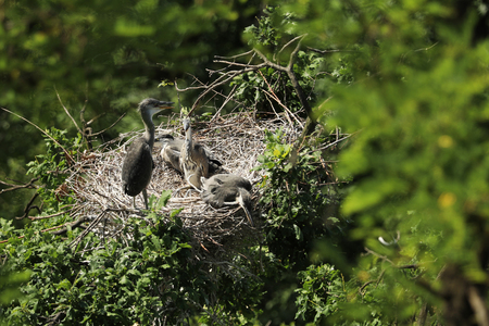 Four young grey herons in the nest on the tree