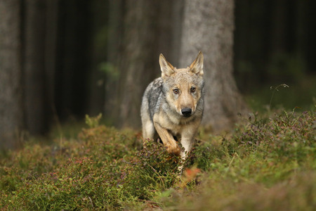 Young Eurasian wolf run in forest - Canis lupus