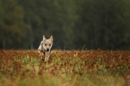 Running cub of Grey wolf in autumn meadow - Canis lupus Stock Photo