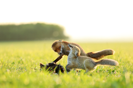 Two red foxes fight for catched bird on meadow in the morning - Vulpes vulpes