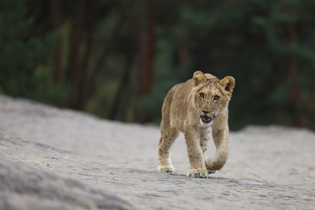 Panthera leo - young lioness walking throught rock place