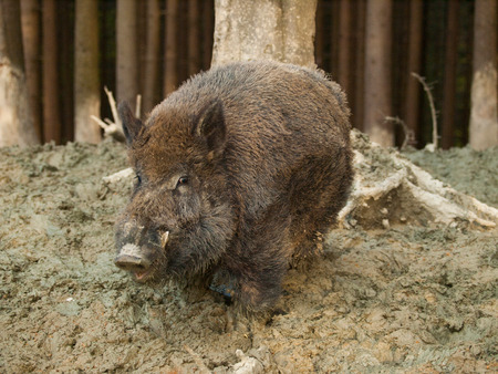 Sus scrofa - Central european boar in forest