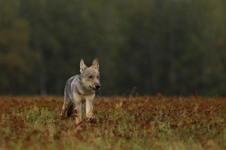 Puppy of Grey wolf running on colorful meadow - Canis lupus Stok Fotoğraf