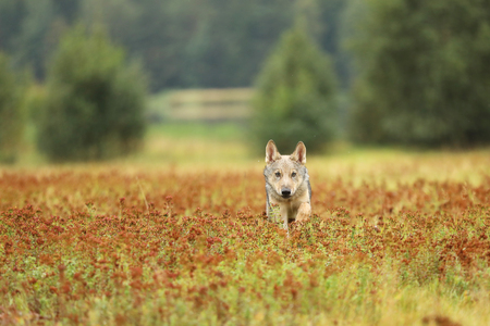 Running cub of Eurasian wolf in autumn meadow - Canis lupus - front view