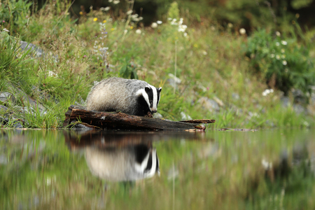 The European badger is  animal with a small head and stocky body Stock Photo