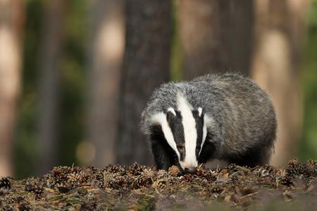 Badger in forest, animal nature habitat, Meles meles Stock Photo