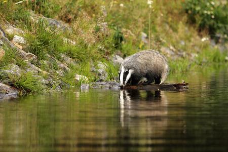 Euroasian badger drink water from pond - Meles meles