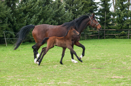 Mare and foal of sport horse on meadow runing Imagens