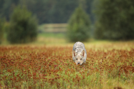 Sniffing cub of Eurasian wolf in autumn meadow - Canis lupus