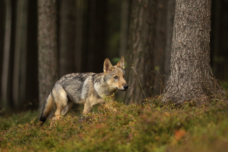 Young Eurasian wolf walk in forest - Canis lupus Stock Photo