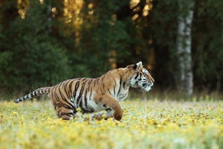 Tigre de Amur corriendo en la hierba con flor amarilla - Panthera tigris altaica Foto de archivo