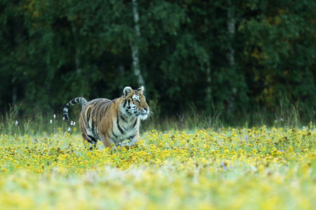 Verano con tigre. Tigre con flores rosas y amarillas. Tigre siberiano en un hermoso hábitat - Pathera tigris altaica Foto de archivo