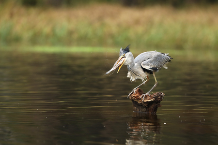 Grey heron with catched fish from stump - Ardea cinerea