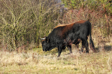 Breed back the Aurochs into existence from the descendant domesticated cattle - Bos primigenius - in Czech republic Reklamní fotografie