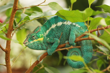 The panther chameleon - Furcifer pardalis - is found in the eastern and northern parts of Madagascar