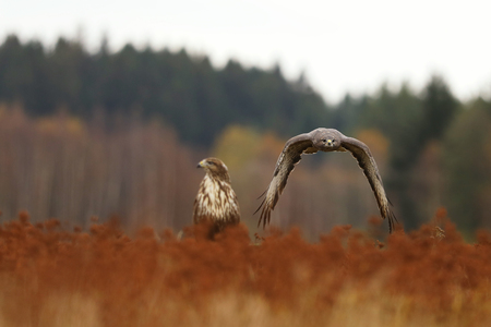 Pair of common buzards on autumn meadow - Buteo buteo Banque d'images