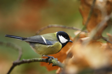 The great tit (Parus major) is the largest of the tits and is found throughout Eurasia