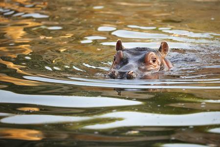 Hippopotamus -  Hippopotamus amphibius - portrait of baby in the water