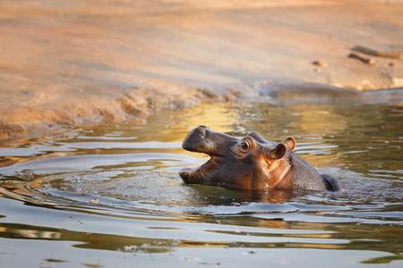 Hippopotame - signifie cheval de rivière en raison de son mode de vie semi-aquatique Banque d'images