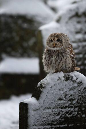 Tawny owl sit on the gravestone - Strix Aluco