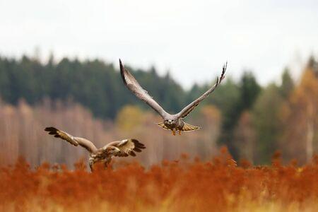 Common buzzard (Buteo buteo) is a medium bird of prey, pair on meadow