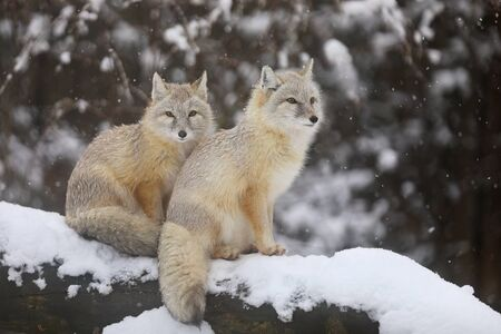 Two Corsac fox sit on tree trunk - Vulpes corsac